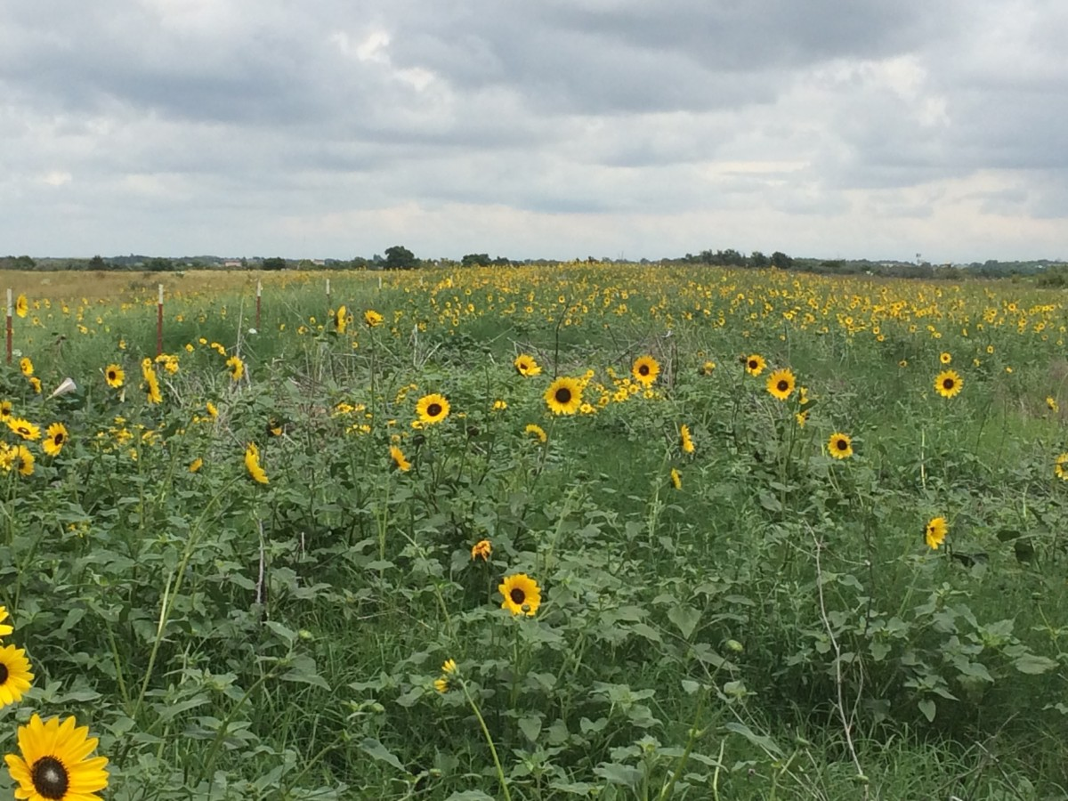 Feild of Flowers on the Oklahoma-Texas Border